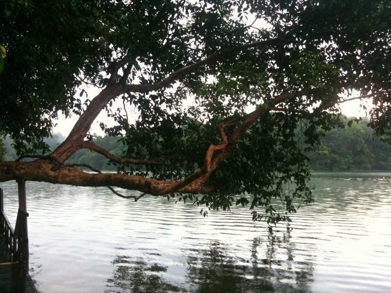macritchie reservoir leaning tree