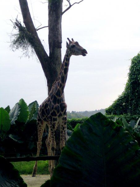 singapore-zoo-giraffe