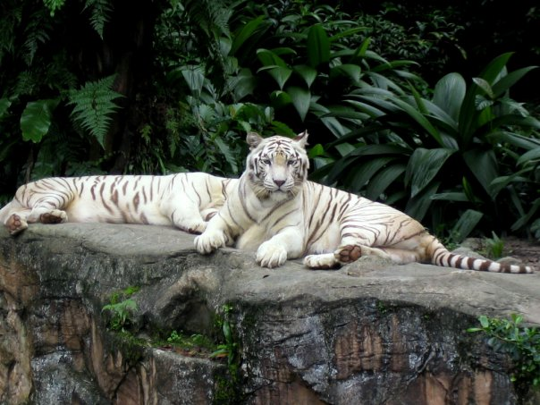 singapore-zoo-white-tiger